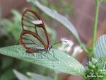 Greta oto (Costa Rica)   Naturospace Honfleur