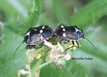 Punaises du chou (Eurydema oleracea)
