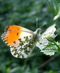Aurore mâle (Anthocharis cardamines)
