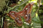 Bombyx atlas (Costa Rica)   Naturospace Honfleur