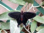 Pachliopta kotzebuea (Philippines)   Naturospace Honfleur