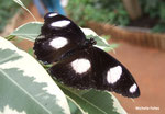 Hypolimnas misippus (Kenya)   Naturospace Honfleur