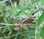 criquet verdelet (Omocestus viridulus)