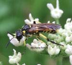 Allante de la Scrophulaire (Allantus scrophulariae L.)