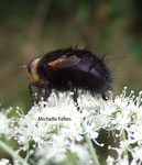 Tachinaire hérisson (Tachina grossa)
