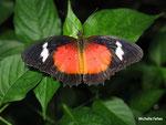 Cethosia biblis (Philippines)   Naturospace Honfleur