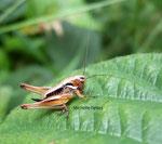 Decticelle des bruyères (Metrioptera brachyptera)