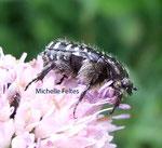 Cétoine noir ou drap mortuaire (Oxythyrea funesta)