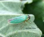 Cicadelle (Cicadella viridis)
