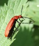 Cardinale (Pyrochroa coccinea)