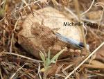 Criquet Oedipoda caerulescens (Camargue juillet 2011)