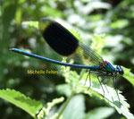 Caloptéryx éclatant mâle (Calopteryx splendens)