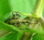 Charançons (Phyllobius arborator Herbst)