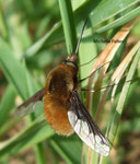 Grand Bombyle (Bombylius major L.)