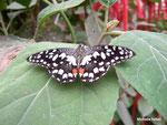 Papilio demoleus (Philippines)   Naturospace Honfleur
