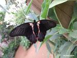 Papilio rumanzovia femelle (Philippines)  Naturospace Honfleur