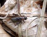 Grillon des bois  (Nemobius sylvestris)