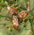 Pentatomes des baies (Dolycoris baccarum)