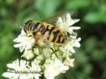 Eristale des fleurs (Myathropa florea)