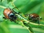 Hanneton des jardins (Phyllopertha horticola L.)