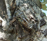 Cigale argentée (Cicadetta argentata) Camargue juillet 2008
