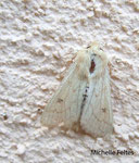 Zigzag, Bombyx disparate, Spongieuse (Lymantria dispar L.)  Hérault septembre 2008