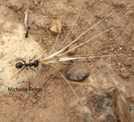 Fourmi moissonneuse (espèce indéterminée) Camargue juillet 2008