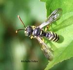 Tenthrède (Tenthredo-vespa)