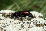 Pompile (Anoplius viaticus) Camargue