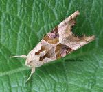 Méticuleuse (Phlogophora meticulosa noctuelle)