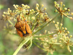 Pentatome des baies (Dolycoris baccarum)