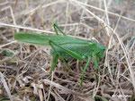 grande sauterelle verte, oviscapte en terre