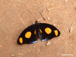 Catonephale numilia (Costa Rica)   Naturospace Honfleur