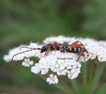 Longicorne (Molorcus minor)