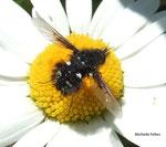Bombylella (Bombylius niger)