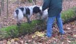 Ernie und ich waren mit unseren Menschen im Wald. Wir sollten über einen Baumstamm gehen, na ja ... Danach ist Ernie ausgebüxt und war hinter den Hühnern her; aber von mir erfahrt ihr keine Details ...
