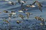 Vols de limicoles © E .Laucher