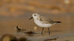 Bécasseau sanderling © E . LAUCHER