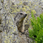 Marmotte © E .LAUCHER
