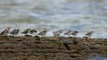 Bécasseaux sanderlings © E. LAUCHER