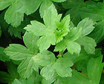 葉は若芽の頃は毒草の「トリカブト」によく似ています。気をつけましょう。