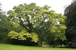 キハダの木。かなりな大きさになります。