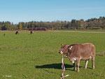 """Ob das Flatterband wohl schmeckt? Unbeeindruckt von RB 5511, die am 18. Oktober 2013 gerade Pfronten verlässt, kaut die Kuh auf ihrem """"Leckerbissen""""."""