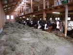 Fressgitter Kühe + Rinder (neuer Laufstall)