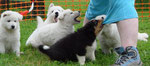 rencontre bbs australiens - bbs bergers blancs