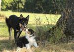 rencontre berger finois de laponie ( BAKHA) - bbs australiens