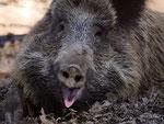'lachendes' Wildschwein im Gehege