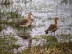 Uferschnepfen im Ochsenmoor