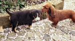 Eila und ihr erster Kontakt mit Nachbars- Dackel Lucy