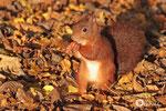 18 octobre: J'ai ramené de bonnes noisettes de la montagne...